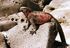 Marine iguana with the red colored skin - due to the red algae on which they feed.