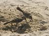 Aggressive Hood Mockingbirds were all over the sandy beach