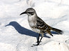 Sharp long beaked Hood Mockingbird