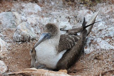 Blue Footed Boby with baby and a new egg