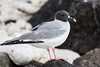 A Swallow-tailed Gull on Genovesa Island