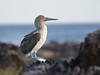 A Blue-Footed Booby surveys its domain.