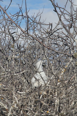 red footed booby baby still in nest
