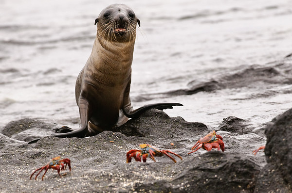 Sea Lion Pup with Sally Lightfoot Crabs
