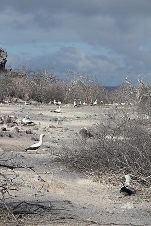 """I call this """"booby land"""" - Genovesa Island"""