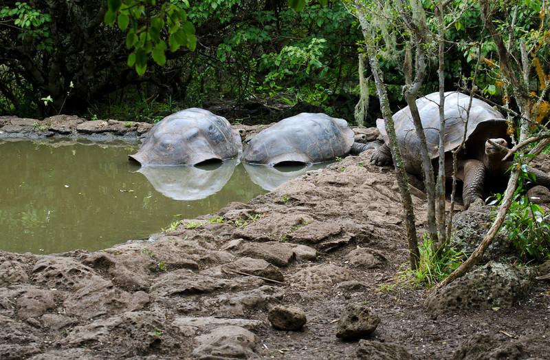 Tortoise watering hole