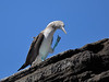 A Blue-footed Booby struts his stuff.
