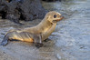 The first of too many pictures of cute Galapagos Sea Lion pups.