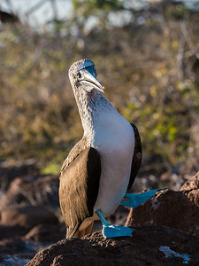 Blue Footed Booby - North Seymour Island