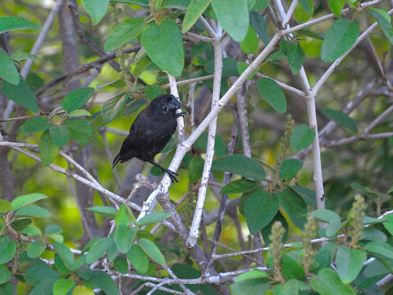 One of Darwin's finches, the large beak version.
