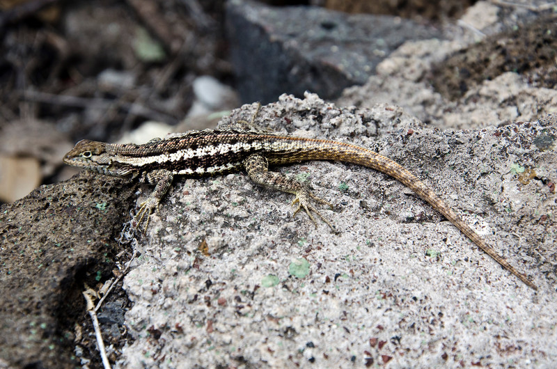 Lava Lizard