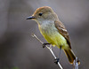 A Galapagos Yellow Warbler