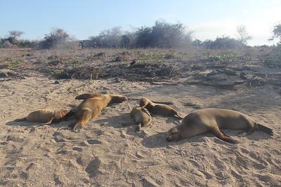 fur seals basking