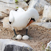 Nazca Booby with eggs