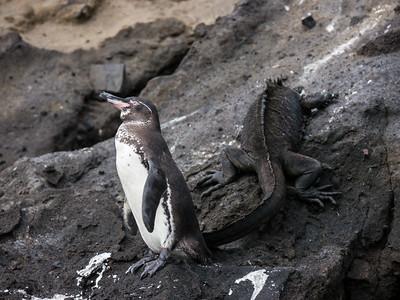 Galapagos Penguin and Marine Iguana - Isabela Island