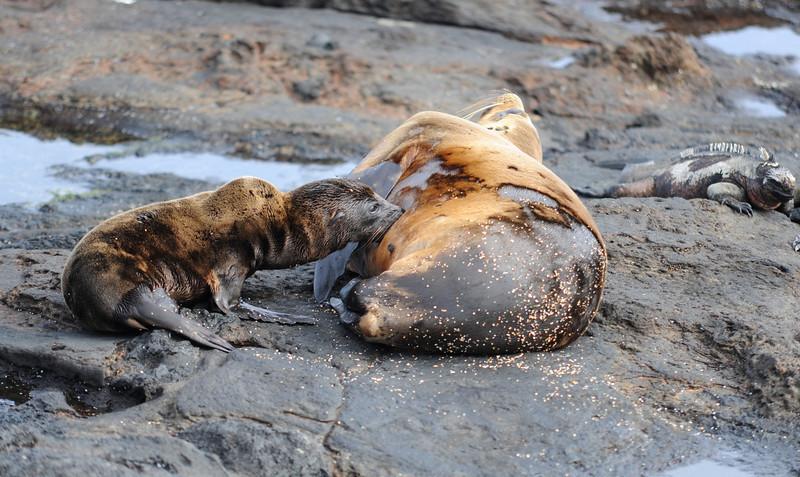 Sea lion baby feeding
