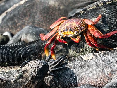 Sally Lightfoot Crab among Marina Iguanas - Fernandina Island