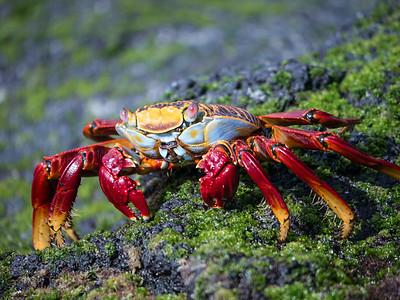 Sally Lightfoot Crab - Fernandina Island