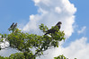 A Galapagos Hawk shares a tree with a pair of Galapagos Mockingbirds.