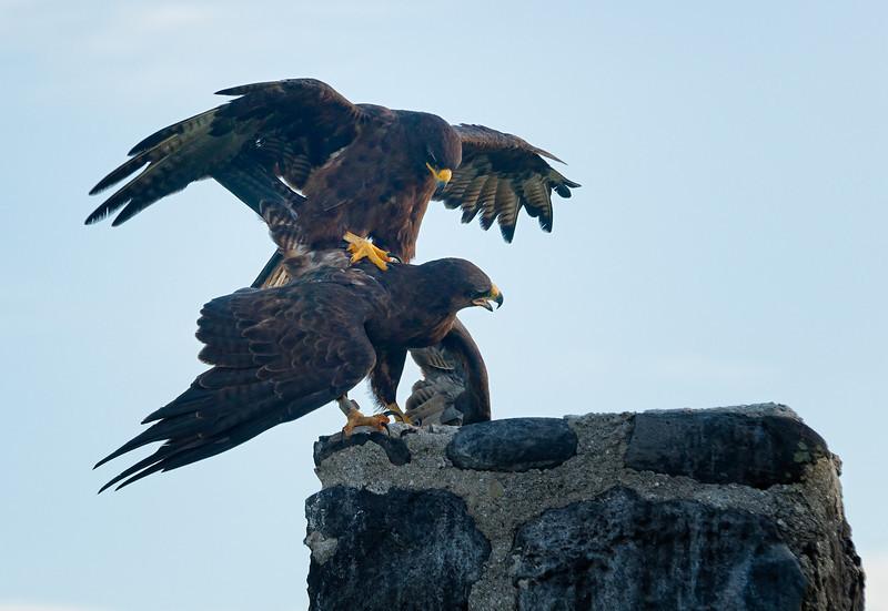 A mating pair of Galapagos Hawks