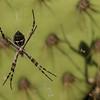 Orb Spider -  Argiope argentata