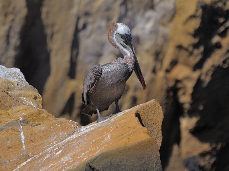 Brown Pelican, the same species we see in Florida