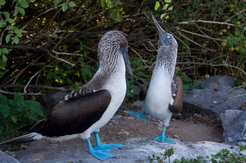 blue footed booby dancing