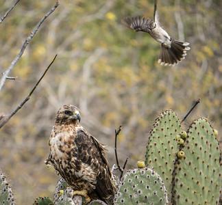A Galapagos Mockingbird tries to drive off a Galapagos Hawk.