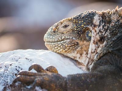 Land Iguana - North Seymour Island
