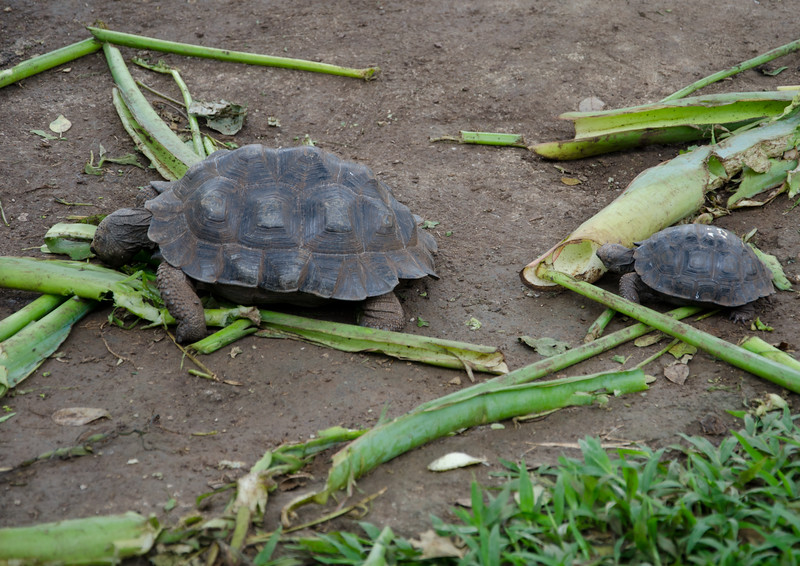 The tortoise reserve and an incubator to hatch the babies. They are first kept in wooden trays to keep them safe from rats and bird predators. From 1-5 years old, they are in a small, walled in area where they are fed 3 times a week. Other days they are learning to forage for themselves. At 5 years they move to the large reserve area until they are 15 years old.
