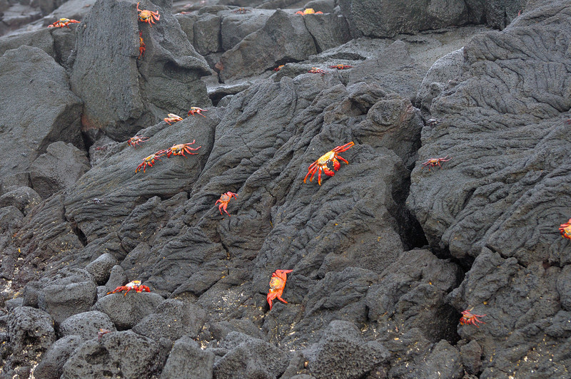 Some of the most colorfull wildlife in the Galapagos are the Sally Lightfoot Crabs, especially when seen against lava.  However, expand the size of the image and try to find the young, more vulnerable crabs, which are black.