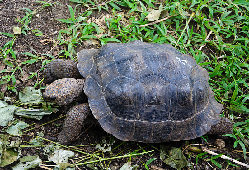 "This is ""Genesis"", the first tortoise hatched at the San Cristobal reserve."