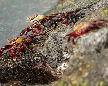 Sally Lightfoot Crabs - Fernandina Island
