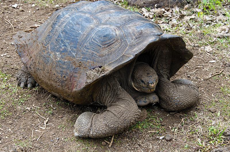 Tortoise at the San Cristobal tortoise reserve.