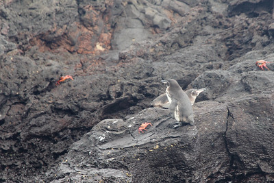 Galapagos Penguins and red rock crabs