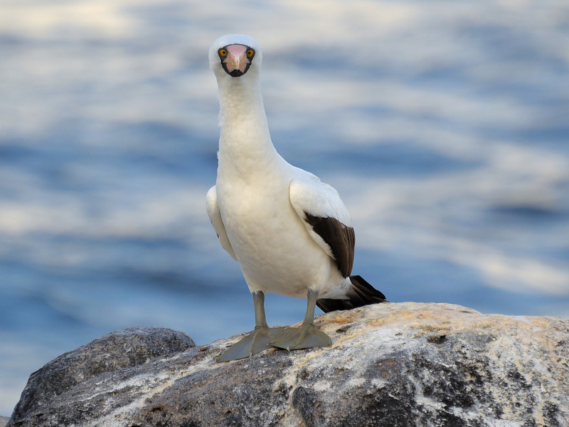 A Nazca Booby giving us a look.