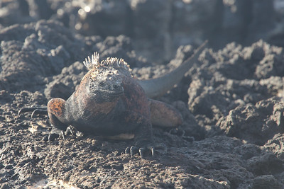 Marine Iguana - found no where else in the world other than the Galapagos