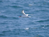 Our first Redbilled Tropicbirds on Isla Plaza.