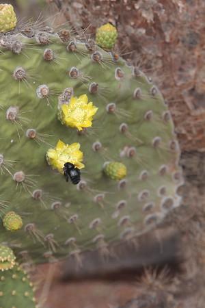 carpenter bee on cactus flower