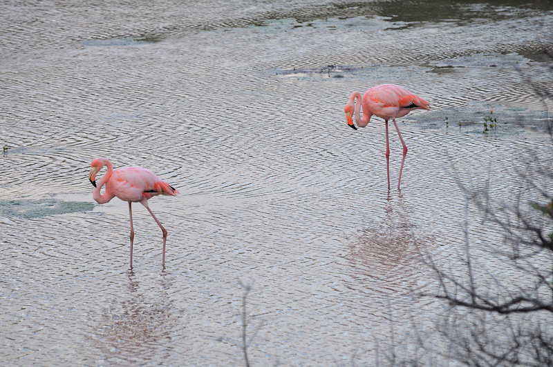 A hike on Isla Floreana led to a pond with several Greater Flamingos.