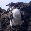 Galapagos Penguin - only 21 inches high