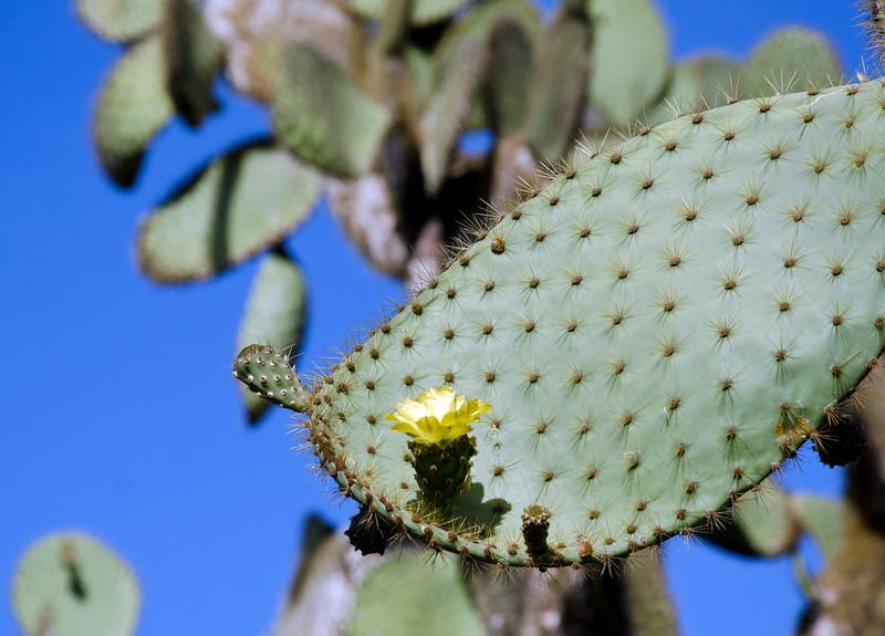 Opuntia in bloom