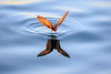 """A White-vented Storm-petrel doing its """"walking on water"""" trick at sunrise"""