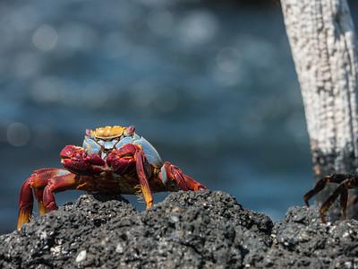 Sally Lightfoot Crab - Isabela Island