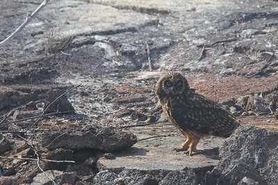 short-eared owl - unique because it hunts during day