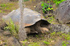 A Galapagos Tortoise at the La Galapaguera, a breeding center on Isla San Christobal.