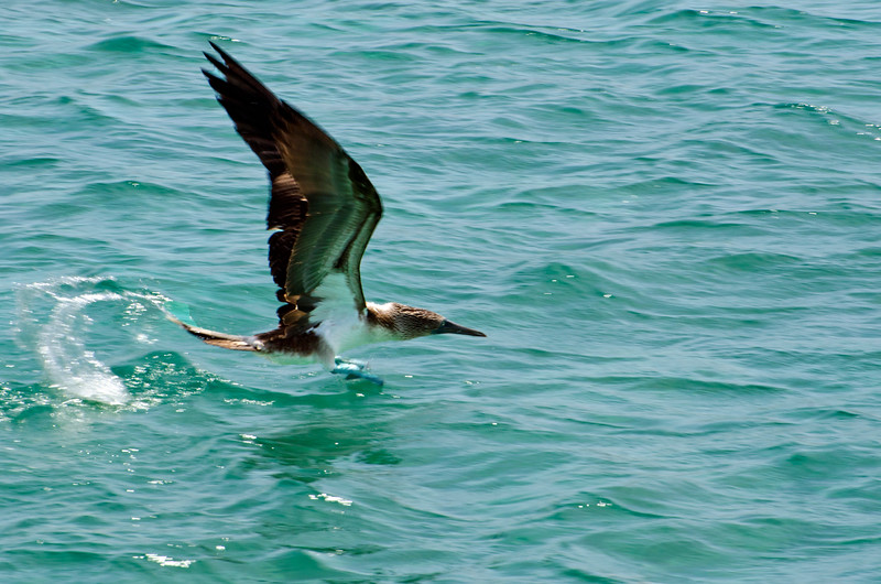 Blue-footed Booby fishing