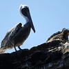Brown Pelican and Marine Iguana