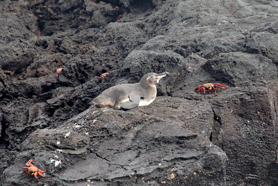Galapagos Penguin and red rock crabs