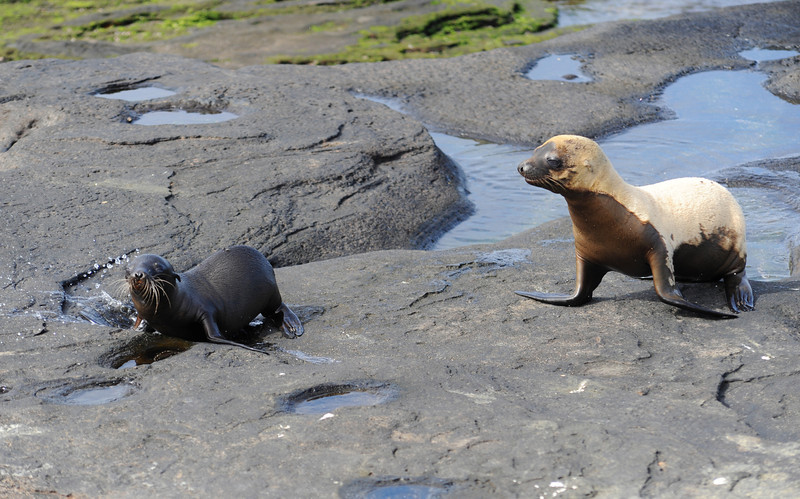 Sea lion cub and sea lion baby playing